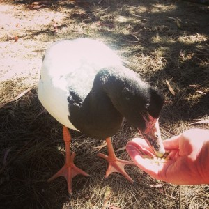 Me feeding a Magpie Goose at the Cleland Wildlife Park.
